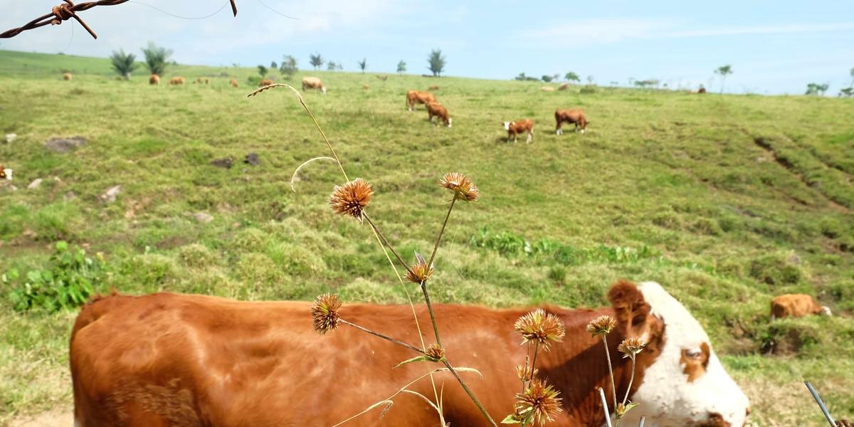 perternakan sapi