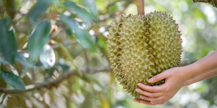 "EVER WONDER WHAT'S INSIDE ""THE BIG DURIAN""?"